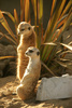 meerkat - photo/picture definition - meerkat word and phrase image