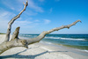 beach tree - photo/picture definition - beach tree word and phrase image