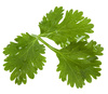 coriander leaves - photo/picture definition - coriander leaves word and phrase image