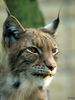 lynx - photo/picture definition - lynx word and phrase image