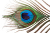 peackock feather eye - photo/picture definition - peackock feather eye word and phrase image