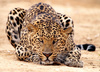 leopard - photo/picture definition - leopard word and phrase image