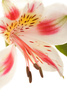 alsrtoemeria - photo/picture definition - alsrtoemeria word and phrase image