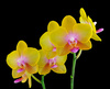 phalaenopsis orchid - photo/picture definition - phalaenopsis orchid word and phrase image