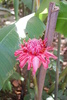 pink torch ginger - photo/picture definition - pink torch ginger word and phrase image