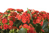 kalanchoe - photo/picture definition - kalanchoe word and phrase image