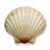 ocean shell - photo/picture definition - ocean shell word and phrase image