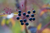wild berries - photo/picture definition - wild berries word and phrase image