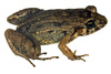 forest chirping frog - photo/picture definition - forest chirping frog word and phrase image