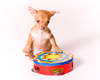 chihuahua puppy - photo/picture definition - chihuahua puppy word and phrase image