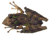 fringe lipped treefrog - photo/picture definition - fringe lipped treefrog word and phrase image
