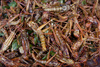 fried grasshoppers - photo/picture definition - fried grasshoppers word and phrase image