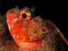 scorpion fish - photo/picture definition - scorpion fish word and phrase image
