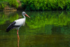 stork - photo/picture definition - stork word and phrase image