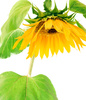 sunflower petals - photo/picture definition - sunflower petals word and phrase image