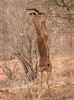 gerenuk - photo/picture definition - gerenuk word and phrase image