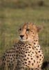cheetah - photo/picture definition - cheetah word and phrase image