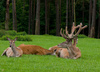 stag - photo/picture definition - stag word and phrase image