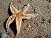 star fish - photo/picture definition - star fish word and phrase image