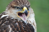 buzzard - photo/picture definition - buzzard word and phrase image