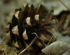 pinecone - photo/picture definition - pinecone word and phrase image