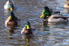 ducks in a row - photo/picture definition - ducks in a row word and phrase image