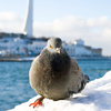 pigeon - photo/picture definition - pigeon word and phrase image