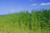 hemp field - photo/picture definition - hemp field word and phrase image