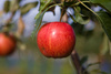 apple plantation - photo/picture definition - apple plantation word and phrase image