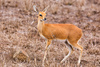 springbok antelope - photo/picture definition - springbok antelope word and phrase image