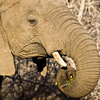 African elephant - photo/picture definition - African elephant word and phrase image