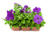 petunia - photo/picture definition - petunia word and phrase image