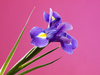 violet iris - photo/picture definition - violet iris word and phrase image