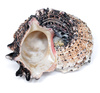 spiral conch shell - photo/picture definition - spiral conch shell word and phrase image