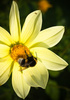 bumblebee - photo/picture definition - bumblebee word and phrase image