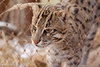fishing cat - photo/picture definition - fishing cat word and phrase image