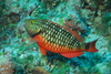 red parrot fish - photo/picture definition - red parrot fish word and phrase image