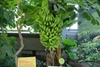 banana tree - photo/picture definition - banana tree word and phrase image