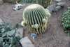 golden barrel cactus - photo/picture definition - golden barrel cactus word and phrase image