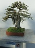 Chinese elm - photo/picture definition - Chinese elm word and phrase image