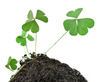 shamrock clover - photo/picture definition - shamrock clover word and phrase image