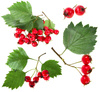 red haw berry - photo/picture definition - red haw berry word and phrase image