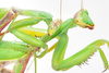 mantis - photo/picture definition - mantis word and phrase image