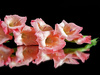 peach gladiola - photo/picture definition - peach gladiola word and phrase image