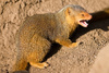 dwarf mongoose - photo/picture definition - dwarf mongoose word and phrase image
