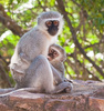 velvet monkey - photo/picture definition - velvet monkey word and phrase image