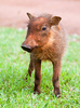 warthog piglet - photo/picture definition - warthog piglet word and phrase image