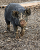 Berkshire breeder pig - photo/picture definition - Berkshire breeder pig word and phrase image
