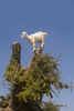 goat feeding - photo/picture definition - goat feeding word and phrase image