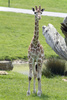 giraffe calf - photo/picture definition - giraffe calf word and phrase image